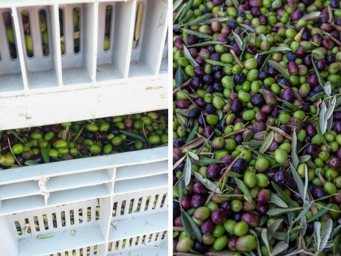Jak powstaje oliwa z oliwek? Tłoczenie oliwy z oliwek