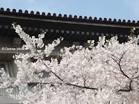 Sakura (blooming cherry tree) with teahouse in background - Ueno Park, Tokyo, Japan