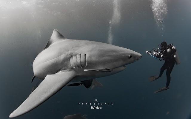 Tiburón Toro | Mizael Palomeque [México]