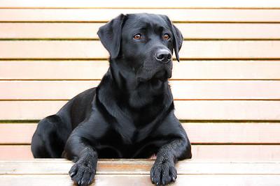 كلب جولدن الاسود