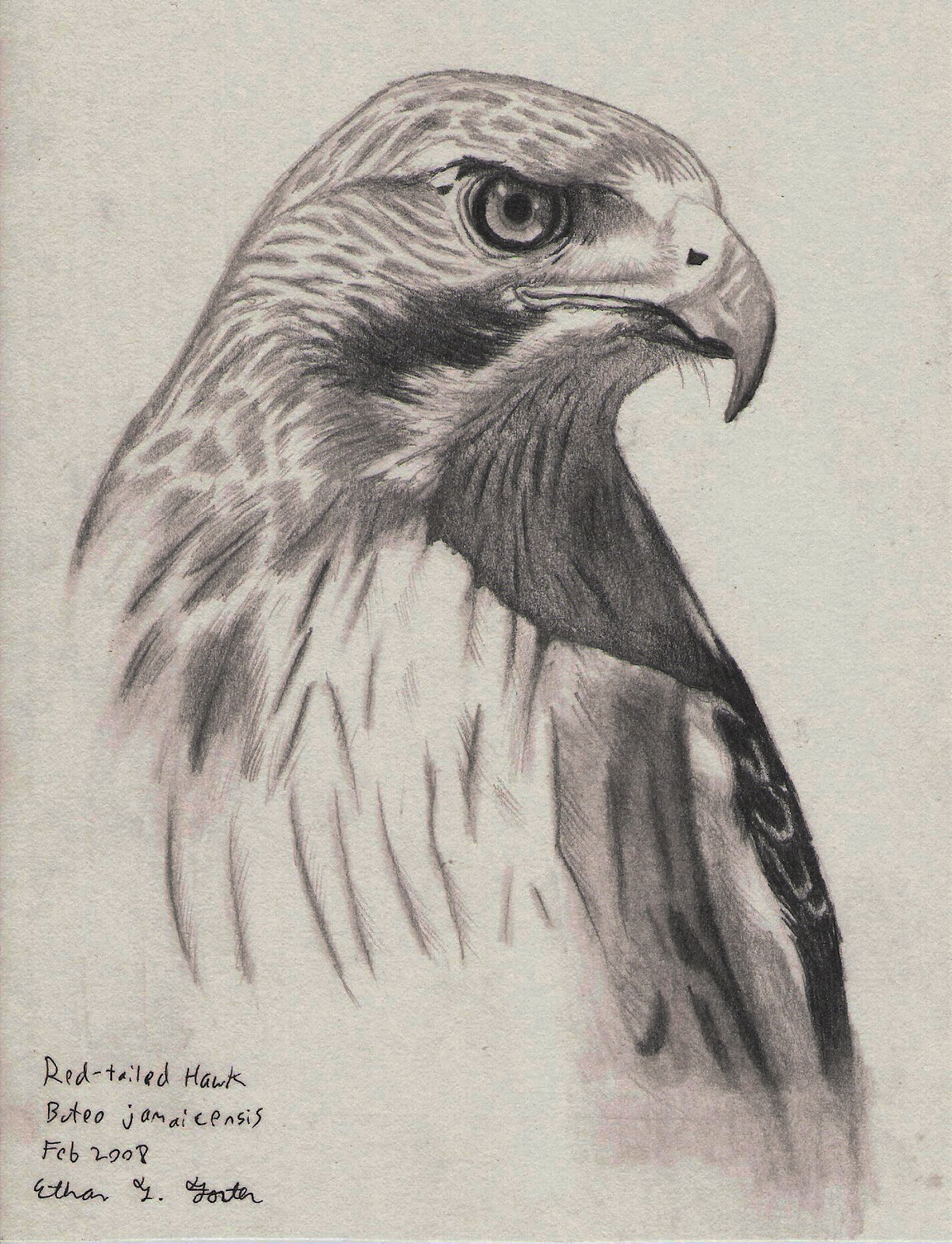 Hawk pencil drawing done in h hb b3 pencil