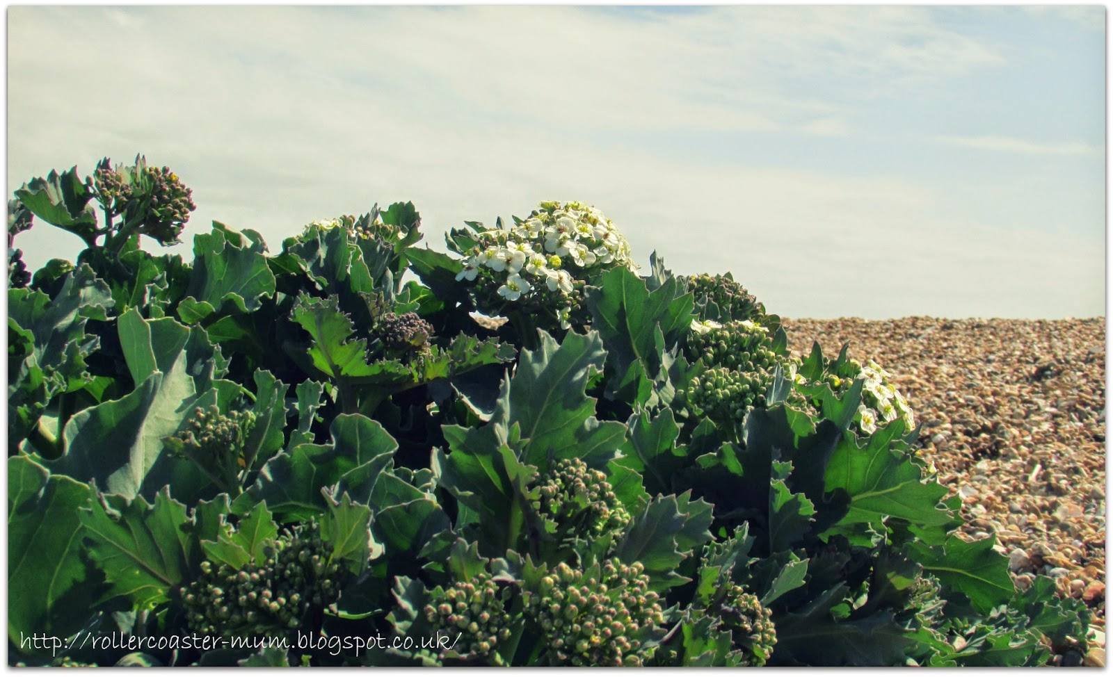 green Sea Kale, Hayling Island