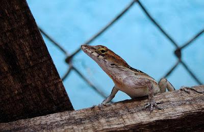 Anolis-Sagrei lizard.