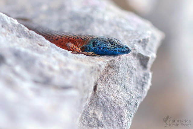 Algyroides nigropunctatus - Blue-throated Keeled Lizard