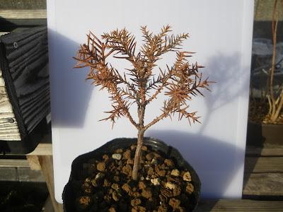 杉 ミニ盆栽