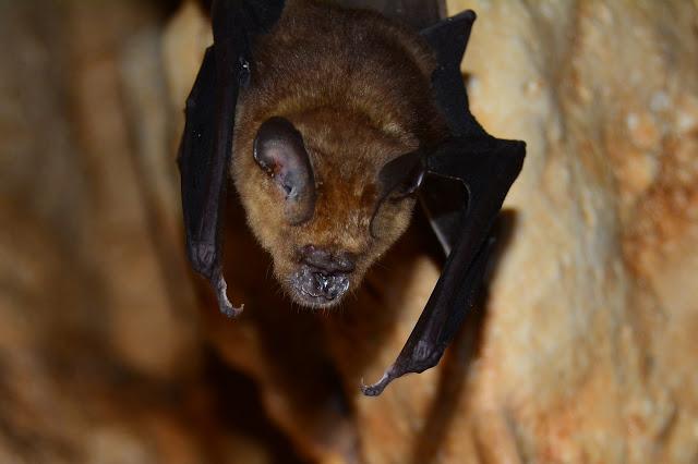 Une petite chauve-souris trouvée dans la grotte (Hipposideros sp.)