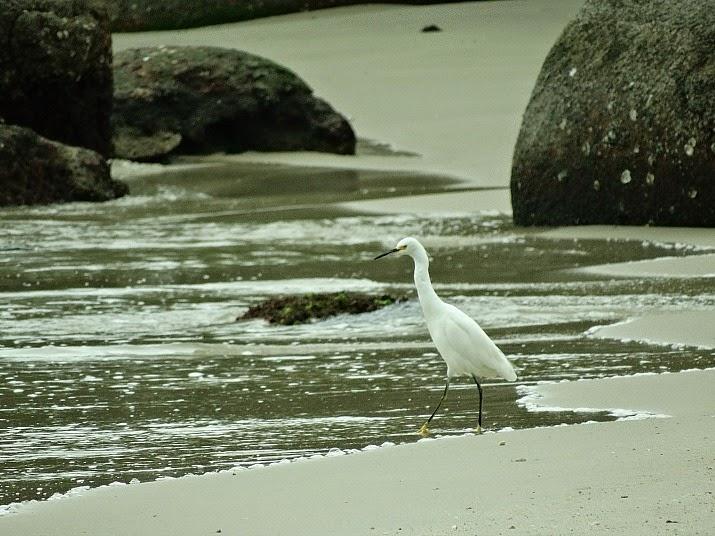 Garça procurando peixes na Baía dos Golfinhos, Governador Celso Ramos.