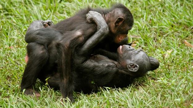 Resultado de imagem para bonobos females