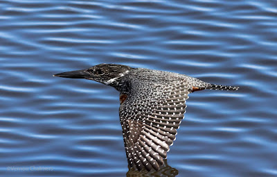 Giant Kingfisher in Flight at Woodbridge Island, Cape Town