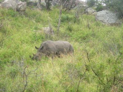 rhino, South Africa, Kruger National Park
