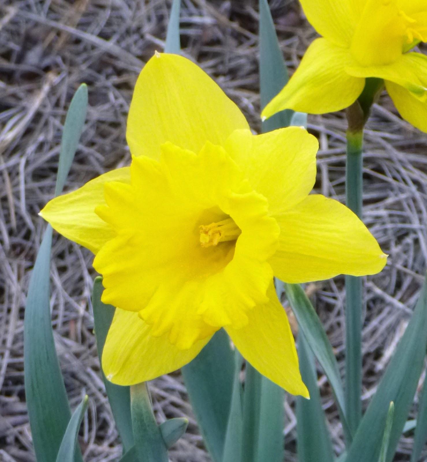 黄色黄水仙
