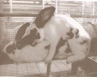 Cara Mengawinkan Kelinci Yang Baik dan Benar | Uraniwa Rabbit