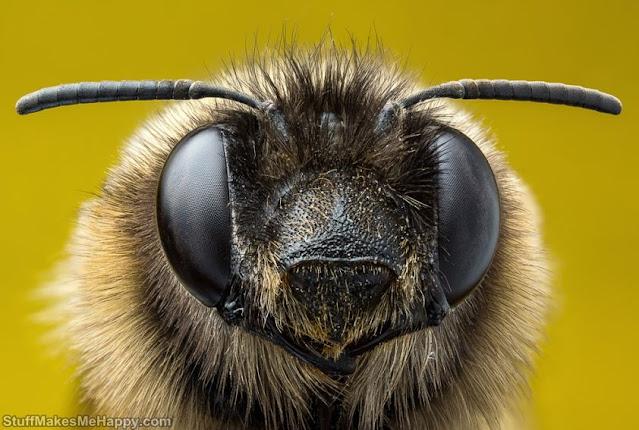 Bee Macro Photography Images