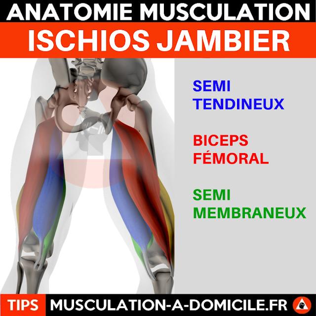 musculation à domicile anatomie des muscles cuisses ischio jambier