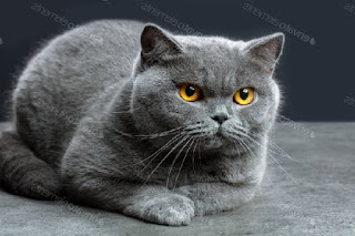 British Shorthair-cat