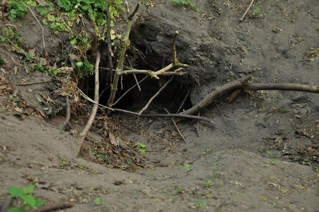 Wczesnośredniowieczne grodzisko pierścieniowate w Dakowach Mokrych - nora lisia