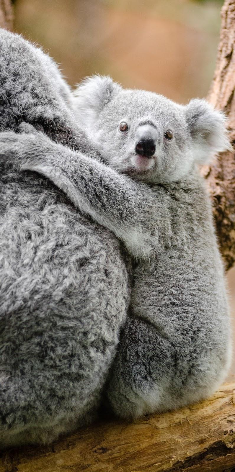 Adorable koala.