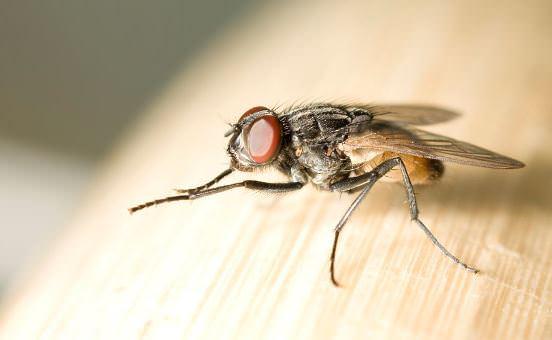 Cara Menghilangkan Lalat di Rumah