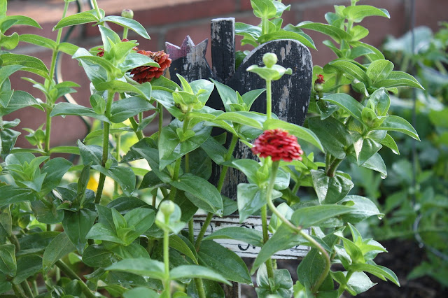 zinnias in garden, rooster garden sign