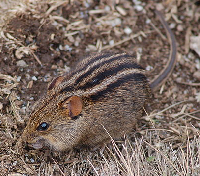 How the African striped mouse got its stripes