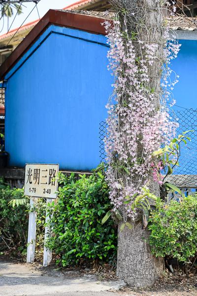南投中興新村石斛蘭瀑布,芒果樹大道長滿芒果也開滿粉紅瀑布蘭