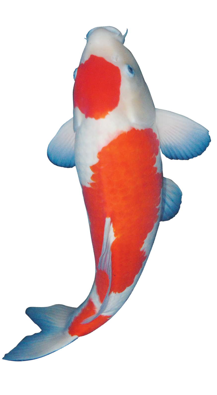 Ikan Hias Png : Gambar