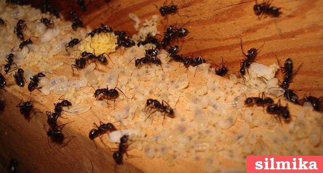 cara membasmi semut hingga ke sarangnya terbukti