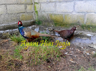 harga ringneck pheasant 2019