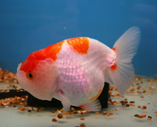 Ikan Mas Koki Ranchu