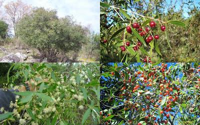 árboles argentinos Anacahuita Blepharocalyx salcifolius