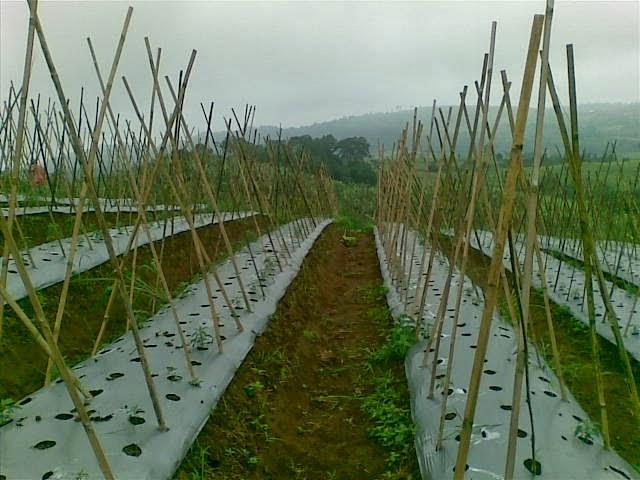 Foto(5203) Jual Tanah Milik | Kebun 23 Ha, Lokasi Puncak jual tanah di puncak