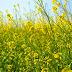 पीली सरसों की बुआई पर जोर, उत्पादकता बढे़गी मिलेगी अच्छी कीमत