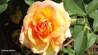 Fully open Gold Medal hybrid tea rose - Elizabeth Park, West Hartford, CT
