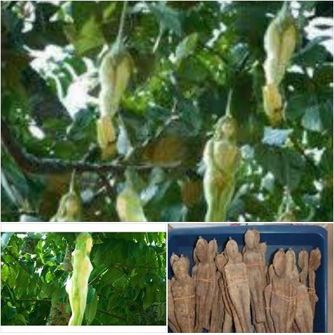 نتيجة بحث الصور عن سر الشجرة الملعونة التى تنبت ثمارا على شكل نساء - اخيرا تم الكشف عن السر - والله اعلم