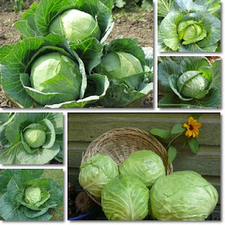 The Amazing Health Benefits Of Cabbage - Healthy T1ps