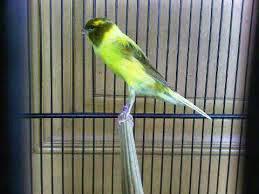 burung yorkshire