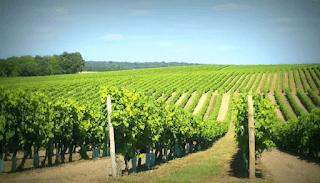 plantação de uvas conhaque cognac