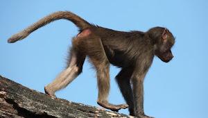 Harga Mahal, Lab China Kekurangan Monyet untuk Uji Coba Vaksin Corona