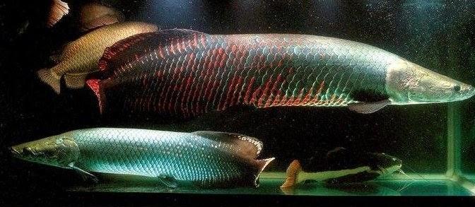 Jenis Ikan Predator Air Tawar yang Mudah Dipelihara