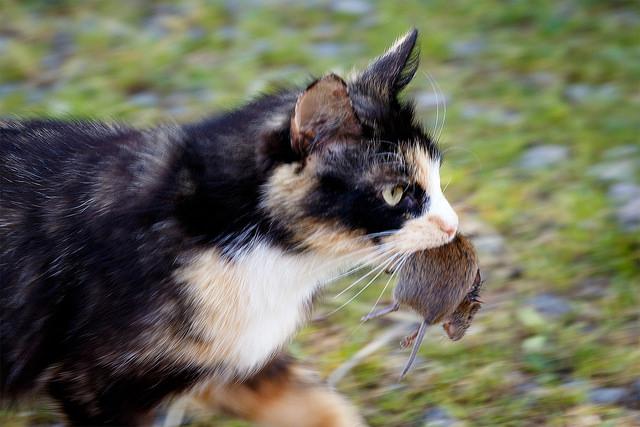 Ketika kucing Anda meringkuk di pangkuan Anda Apakah Kucing Suka Makan Tikus?