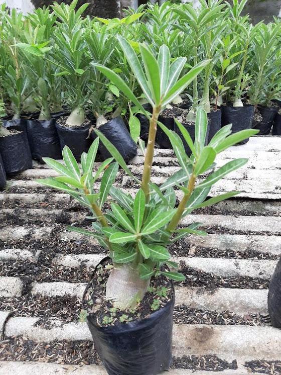 Adenium Kamboja Cabster Cabang seribu 1 paket isi 3 pohon size A Jakarta