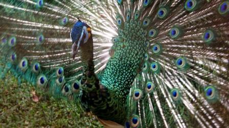 9400 Gambar Burung Merak Mekar HD