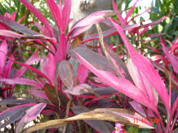 ialah salah satu tumbuhan obat jenis perdu yang mempunyai daun dengan warna memikat mul Andong dan manfaatnya dalam dunia herbal