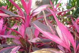 Andong dan khasiatnya dalam dunia herbal