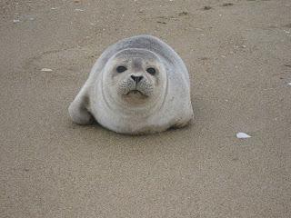 https://commons.wikimedia.org/wiki/File:Seal_pup_cute_marine_mammal.jpg