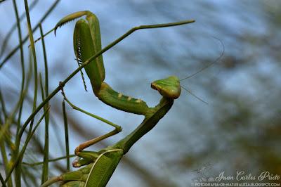 Sphodromantis Viridis - Mantis Africana (fotografia-de-naturaleza.blogspot.com)
