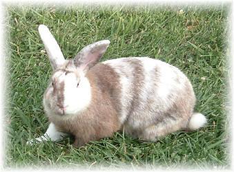 jenis kelinci harlequin magpie