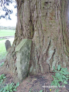 Large conifer consuming a gravestone, Ebberston Church, Yorkshire