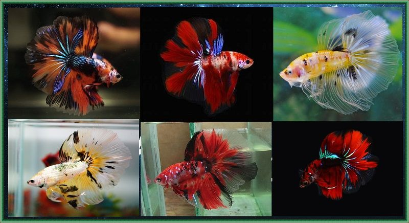 Image Beautiful Betta Fish Color Halfmoon