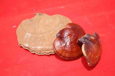 Reishi mushroom weight loss